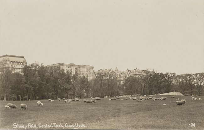 Sheep grazing in the sheepfold of Central Park.