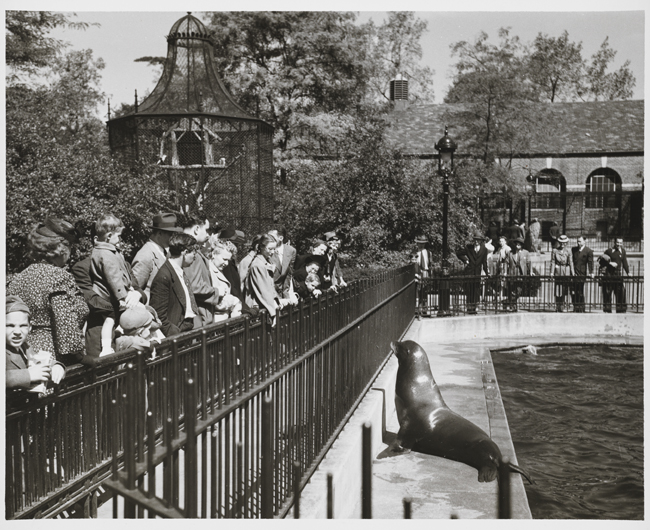 A crowd watches a sea lion at the Central Park Zoo